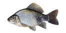 Naše druhy ryb_10