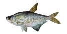 Naše druhy ryb_12