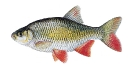 Naše druhy ryb_14