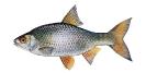 Naše druhy ryb_15