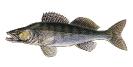 Naše druhy ryb_16
