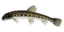 Naše druhy ryb_32