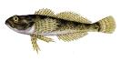 Naše druhy ryb_37