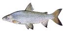 Naše druhy ryb_40