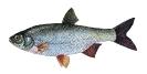 Naše druhy ryb_44