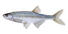 Naše druhy ryb_45