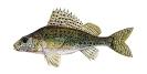 Naše druhy ryb_46
