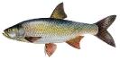Naše druhy ryb_49
