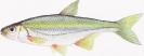 Naše druhy ryb_4