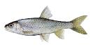 Naše druhy ryb_51