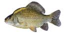 Naše druhy ryb_56