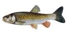 Naše druhy ryb_9