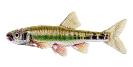 Naše druhy ryb_11