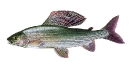 Naše druhy ryb_13