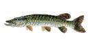 Naše druhy ryb_19
