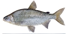 Naše druhy ryb_25