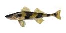 Naše druhy ryb_26