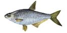Naše druhy ryb_27