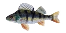 Naše druhy ryb_33