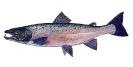 Naše druhy ryb_34