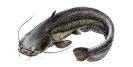 Naše druhy ryb_35