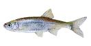 Naše druhy ryb_41