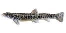 Naše druhy ryb_43