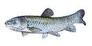 Naše druhy ryb_50