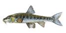 Naše druhy ryb_52