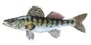 Naše druhy ryb_54