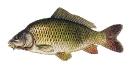 Naše druhy ryb_55