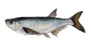 Naše druhy ryb_61