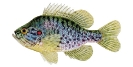 Naše druhy ryb_8
